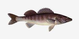 рыба толстолобик речной