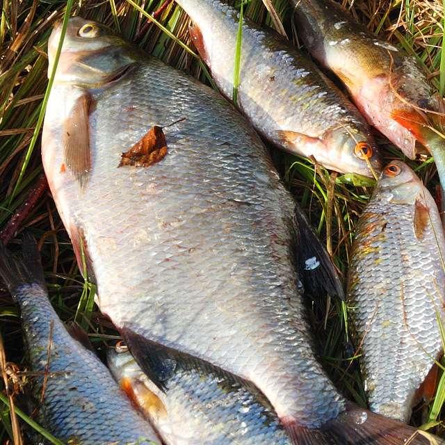 Как сохранить рыбу: на рыбалке без холодильника