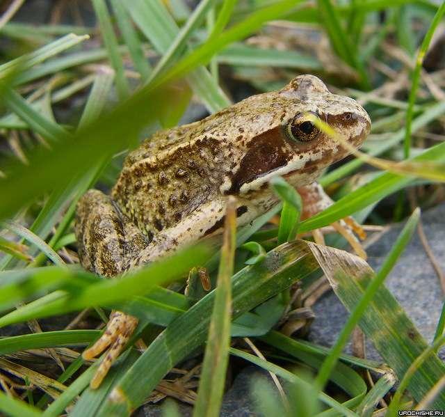 Любимый корм голавля- мелкая лягушка