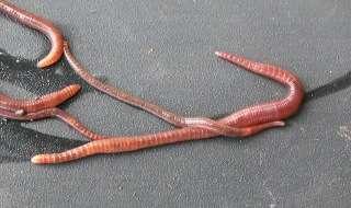 Ловля хариуса на поплавочную удочку- навозный червь