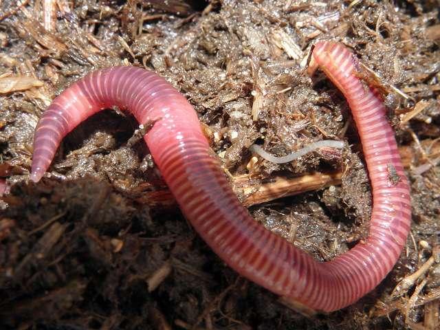 насадка для линя: червь навозный