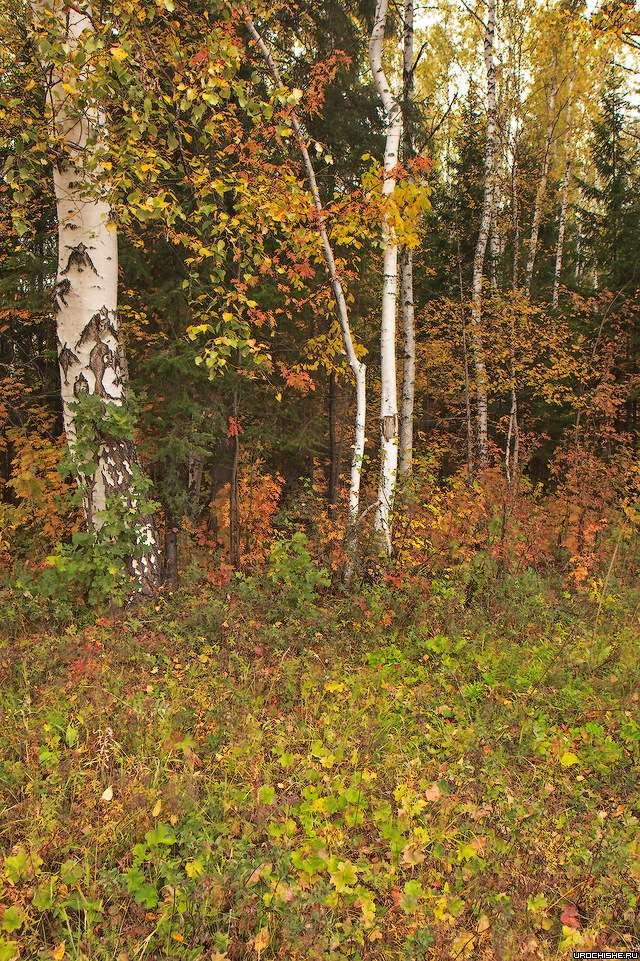 Грибное место- смешанный лес (берёза и хвойные)