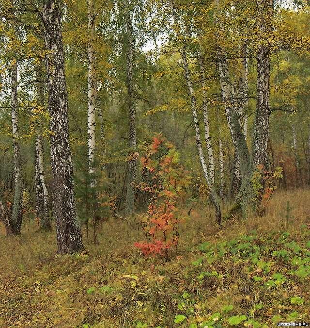 Где растут белые грибы- березняк