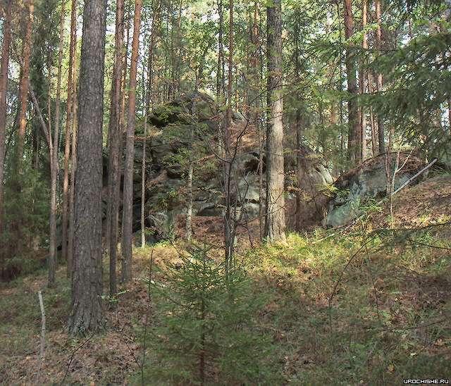 Где растут белые грибы- сосновый лес