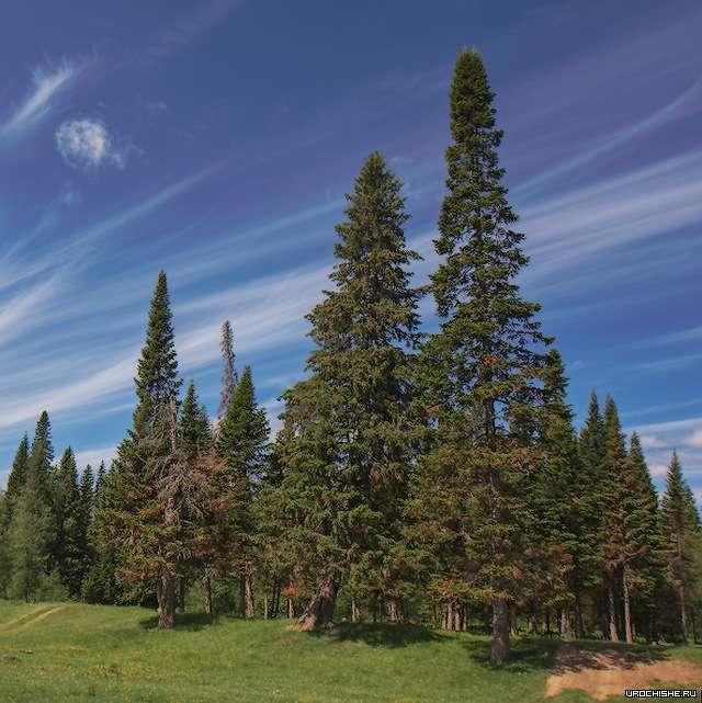 Где растут белые грибы- елово-пихтовый лес