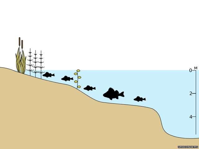 миграции окуня зимой: перволедье