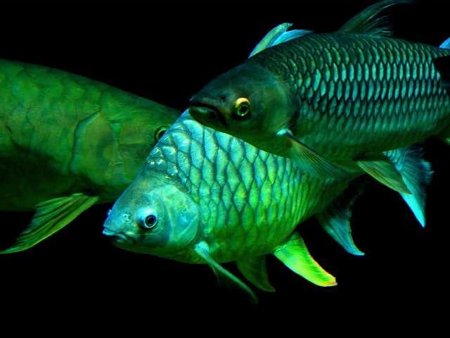 ночная рыба
