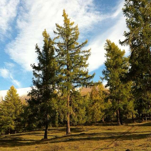 дрова для костра: лиственница