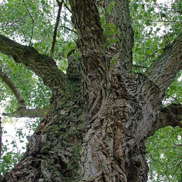 дрова для костра: тополь