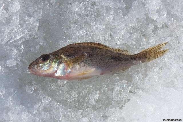 волчихинское водохранилище зимняя рыбалка