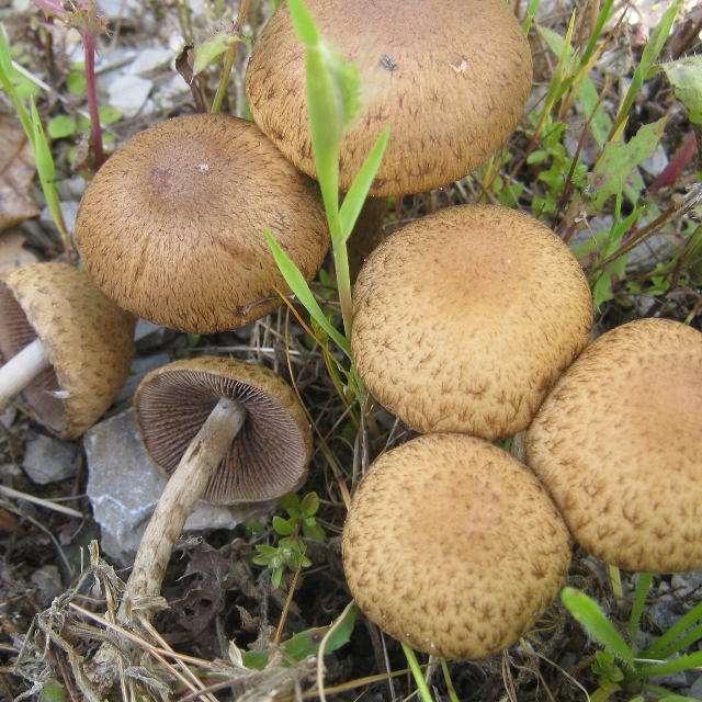 какие грибы растут весной- лакримария бархатистая