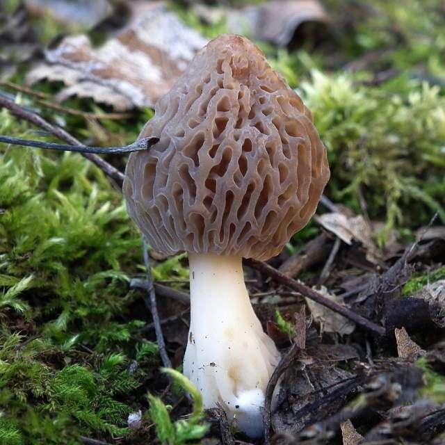 весенний гриб сморчок съедобный