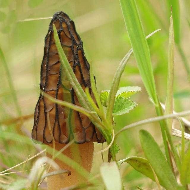 весенний гриб сморчок высокий