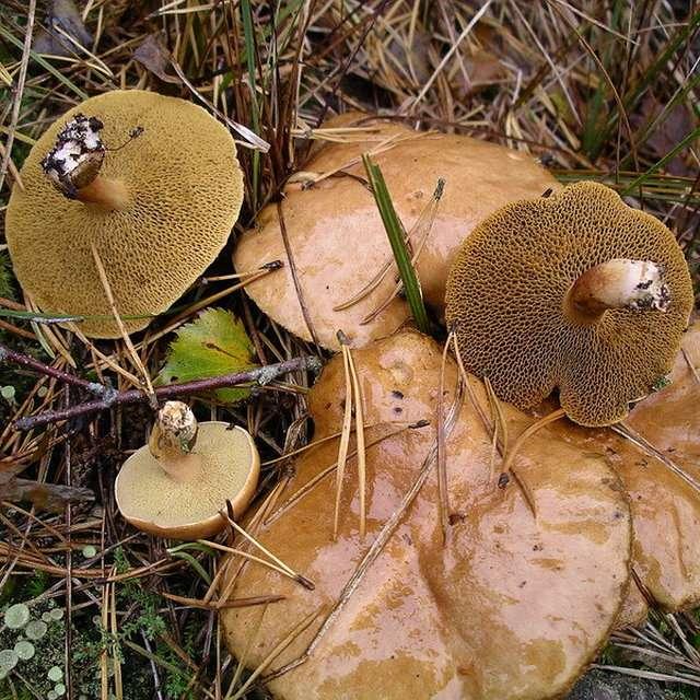 грибы козляки