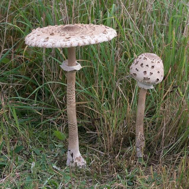 зонтики- эти грибы растут осенью
