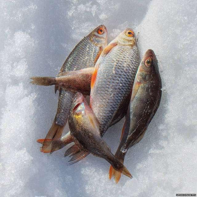 ловля со льда- рыба
